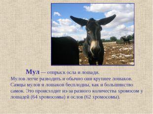 Мул — отпрыск осла и лошади. Мулов легче разводить и обычно они крупнее лоша