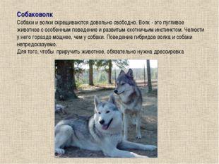 Собаковолк Собаки и волки скрещиваются довольно свободно. Волк - это пугливое