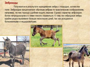 Зеброиды Получаются в результате скрещивание зебры с лошадью, ослом или пони
