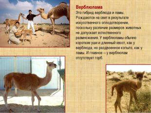 Верблюлама Это гибрид верблюда и ламы. Рождаются на свет в результате искусст