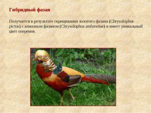 Гибридный фазан Получается в результате скрещивания золотого фазана (Chrysolo