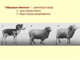 Гибридные животные: 1 - дикий баран архар; 2 - овца породы прекос; 3 - баран