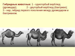 Гибридные животные: 1 - одногорбый верблюд (дромедар); 2 - двугорбый верблюд