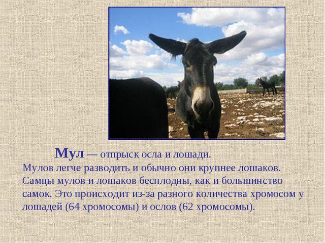 Мул — отпрыск осла и лошади. Мулов легче разводить и обычно они крупнее лоша...