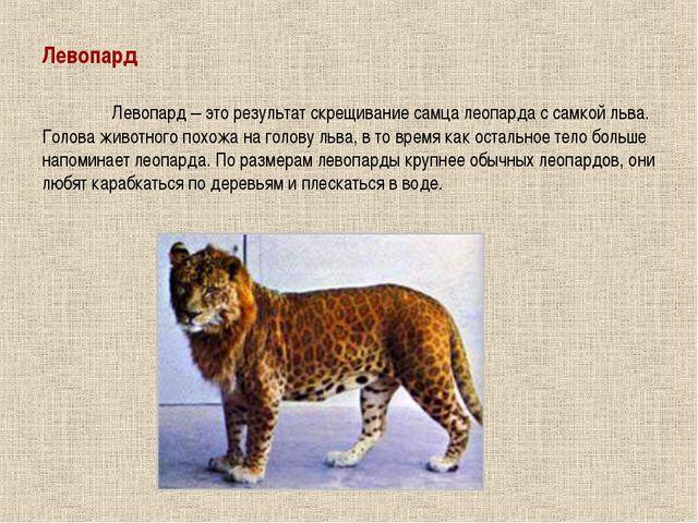 Левопард Левопард – это результат скрещивание самца леопарда с самкой льва....