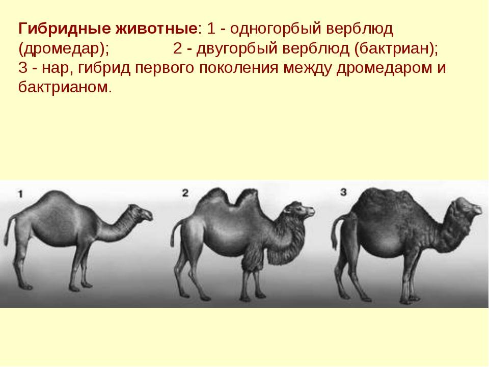 Гибридные животные: 1 - одногорбый верблюд (дромедар); 2 - двугорбый верблюд...