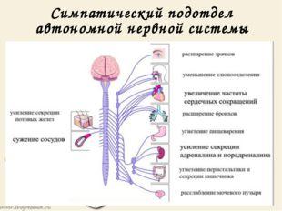 Симпатический подотдел автономной нервной системы Симпатический подотдел авто