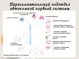 Парасимпатический подотдел автономной нервной системы Высшие парасимпатически