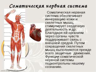 Соматическая нервная система Соматическая нервная система обеспечивает иннерв
