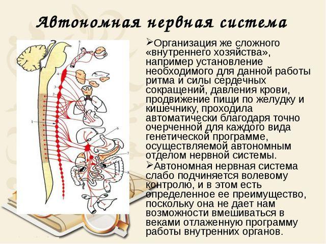 Автономная нервная система Организация же сложного «внутреннего хозяйства», н...
