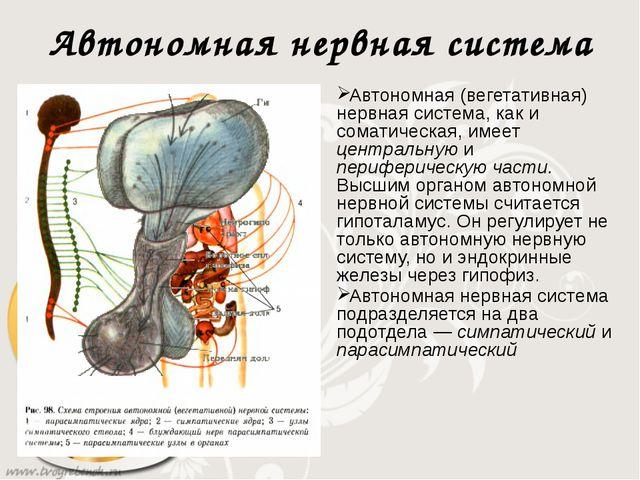 Автономная нервная система Автономная (вегетативная) нервная система, как и с...
