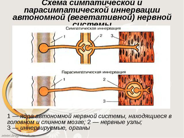 Схема симпатической и парасимпатической иннервации автономной (вегетативной)...