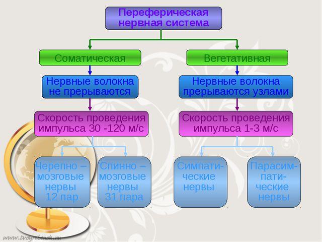Переферическая нервная система Соматическая Вегетативная Нервные волокна не п...