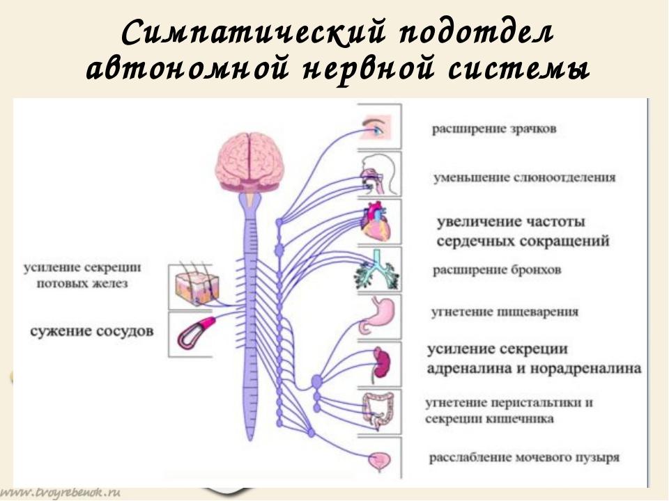 Симпатический подотдел автономной нервной системы Симпатический подотдел авто...