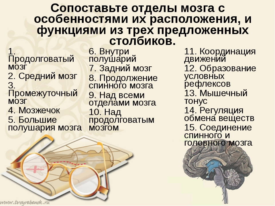 Сопоставьте отделы мозга с особенностями их расположения, и функциями из трех...