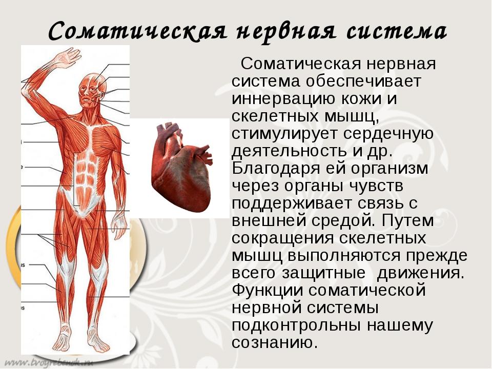 основных своих соматический отдел нервной системы предназначено для