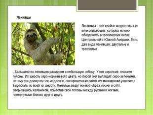 Ленивцы Ленивцы – это крайне медлительные млекопитающие, которых можно обнару