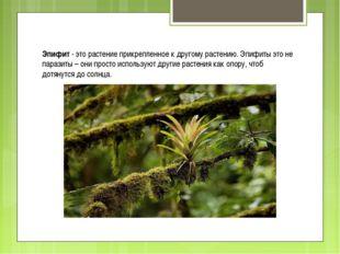 Эпифит - это растение прикрепленное к другому растению. Эпифиты это не парази