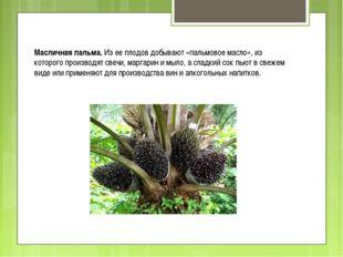 Масличная пальма. Из ее плодов добывают «пальмовое масло», из которого произв