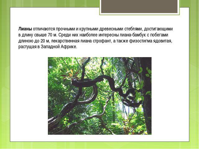 Лианы отличаются прочными и крупными древесными стеблями, достигающими в длин...