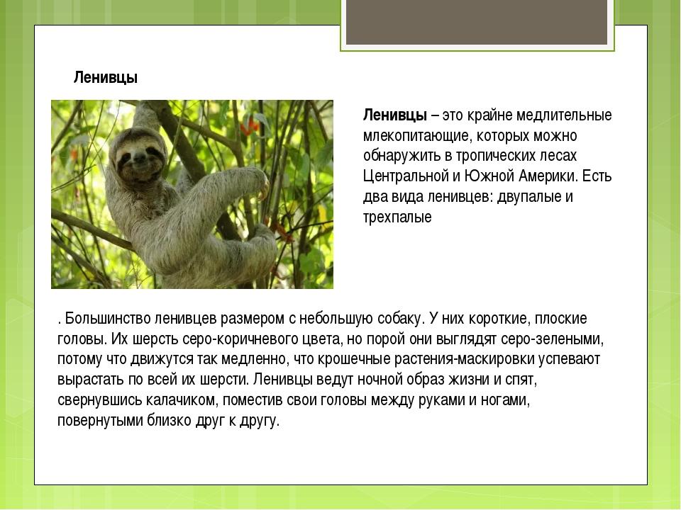 Ленивцы Ленивцы – это крайне медлительные млекопитающие, которых можно обнару...