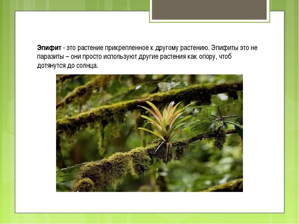 Эпифит - это растение прикрепленное к другому растению. Эпифиты это не парази...