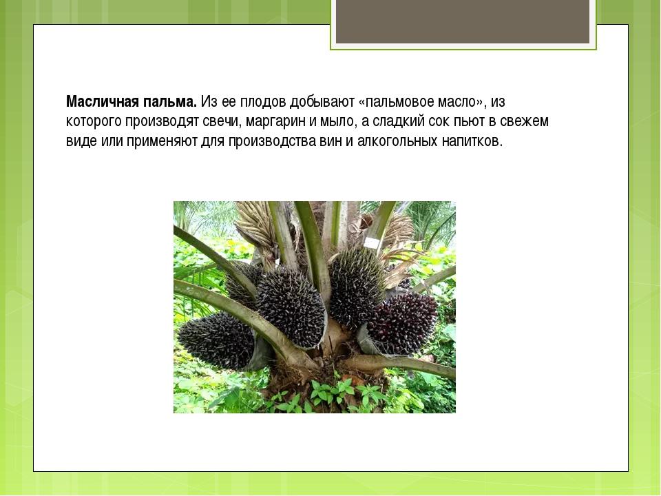 Масличная пальма. Из ее плодов добывают «пальмовое масло», из которого произв...