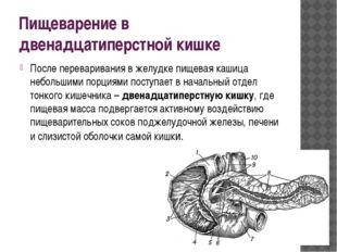 Пищеварение в двенадцатиперстной кишке После переваривания в желудке пищевая