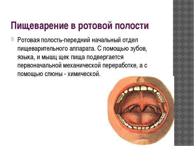 Пищеварение в ротовой полости Ротовая полость-передний начальный отдел пищева...