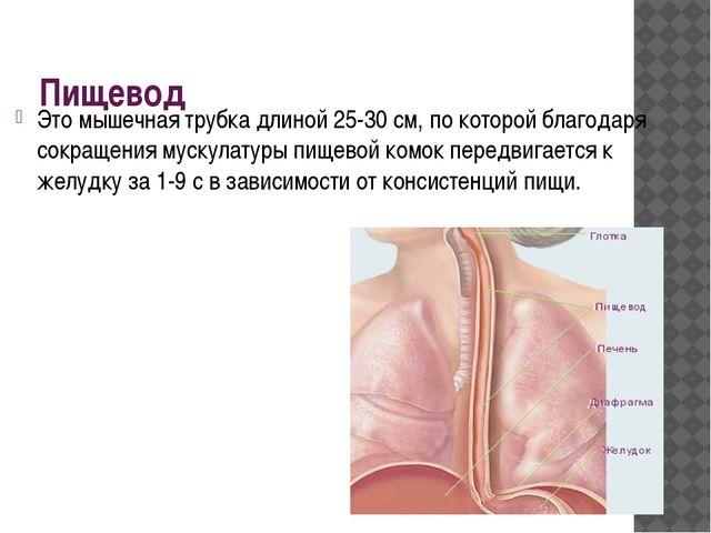 Пищевод Это мышечная трубка длиной 25-30 см, по которой благодаря сокращения...