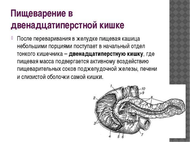 Пищеварение в двенадцатиперстной кишке После переваривания в желудке пищевая...