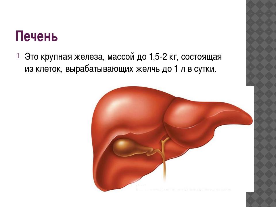 Печень Это крупная железа, массой до 1,5-2 кг, состоящая из клеток, вырабатыв...