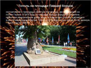 Тополь на площади Павших борцов исторический и природный памятник Волгограда,