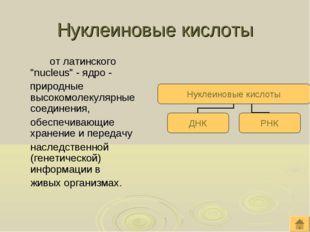 """Нуклеиновые кислоты от латинского """"nucleus"""" - ядро - природные высокомолеку"""