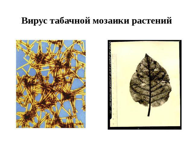Вирус табачной мозаики растений