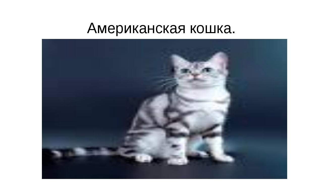 Американская кошка.