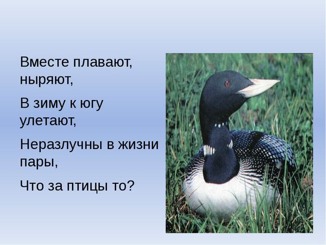 Вместе плавают, ныряют, В зиму к югу улетают, Неразлучны в жизни пары, Что з...