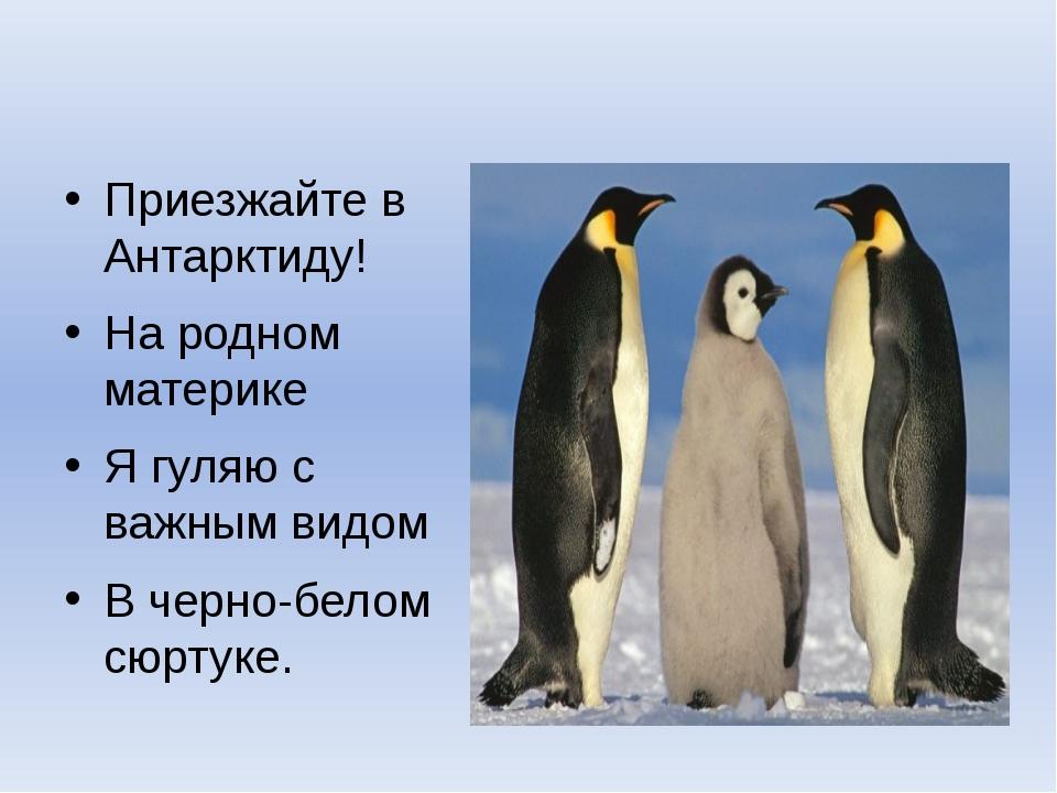 Приезжайте в Антарктиду! На родном материке Я гуляю с важным видом В черно-б...