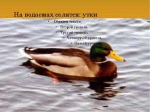 На водоемах селятся: утки