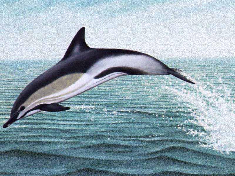 http://www.ittiofauna.org/provinciarezzo/caccia/tabelle_specie/cetacei/delfino_comune/images/delphinus_delphis.jpg