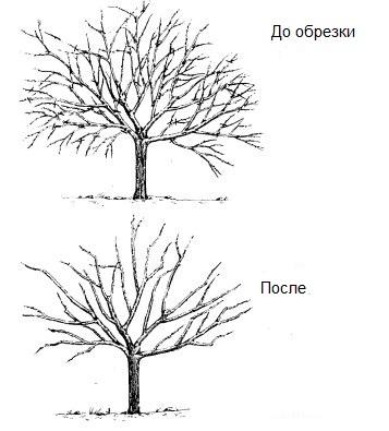 C:\Users\Люба\Desktop\урок в 9 кл. формирование кроны молодого плодового дерева\42.jpg