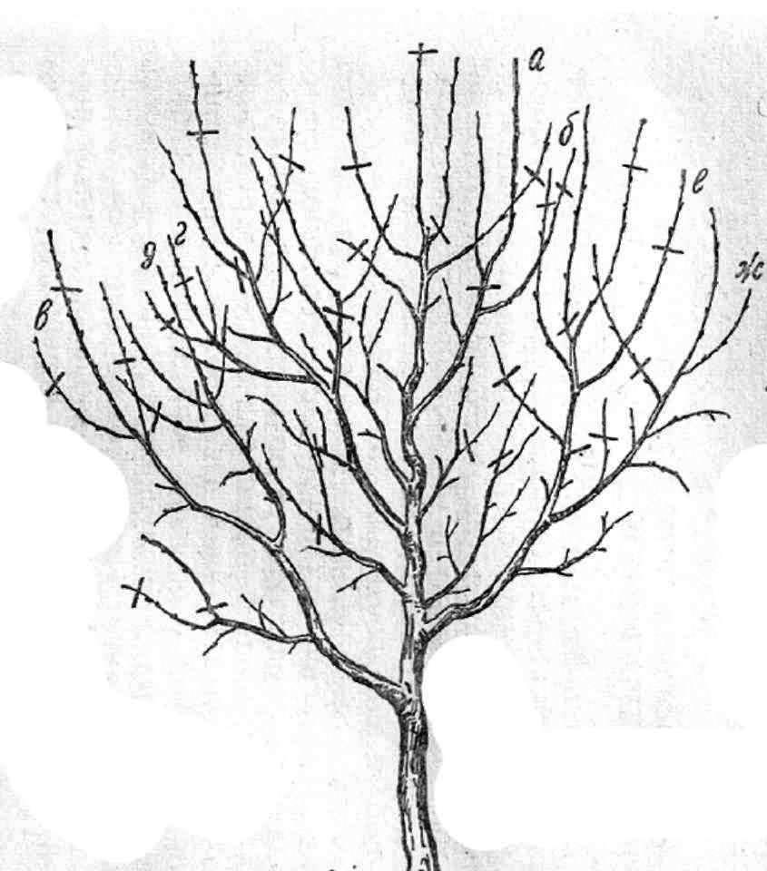 C:\Users\Люба\Desktop\урок в 9 кл. формирование кроны молодого плодового дерева\169.jpg