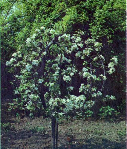 шарообразная форма кроны яблони глобус
