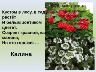Калина Кустом в лесу, в саду растёт И белым зонтиком цветёт. Созреет красной,