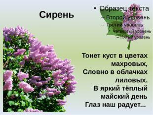 Сирень Тонет куст в цветах махровых, Словно в облачках лиловых. В яркий тёплы