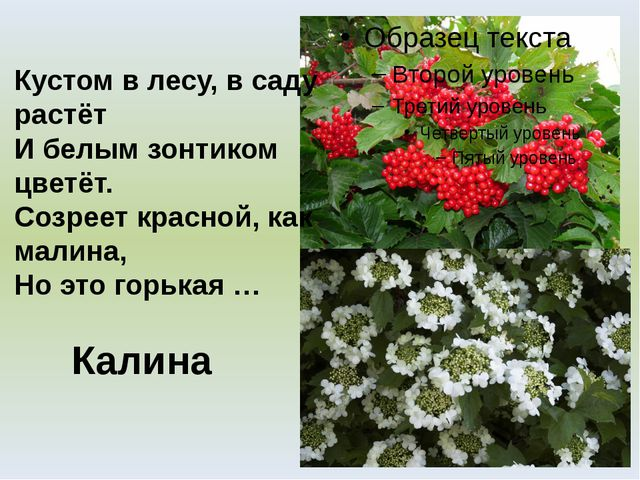 Калина Кустом в лесу, в саду растёт И белым зонтиком цветёт. Созреет красной,...