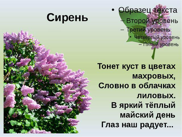 Сирень Тонет куст в цветах махровых, Словно в облачках лиловых. В яркий тёплы...
