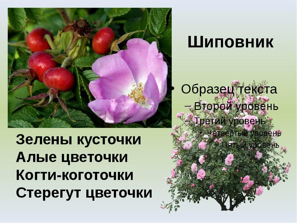 Шиповник Зелены кусточки Алые цветочки Когти-коготочки Стерегут цветочки