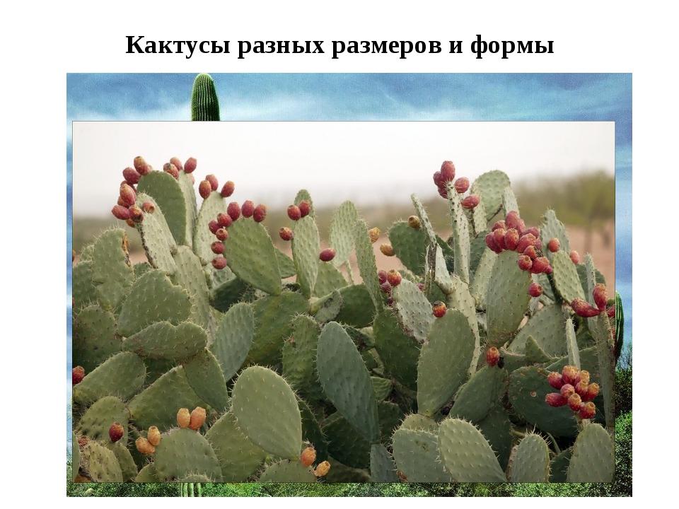 Кактусы разных размеров и формы