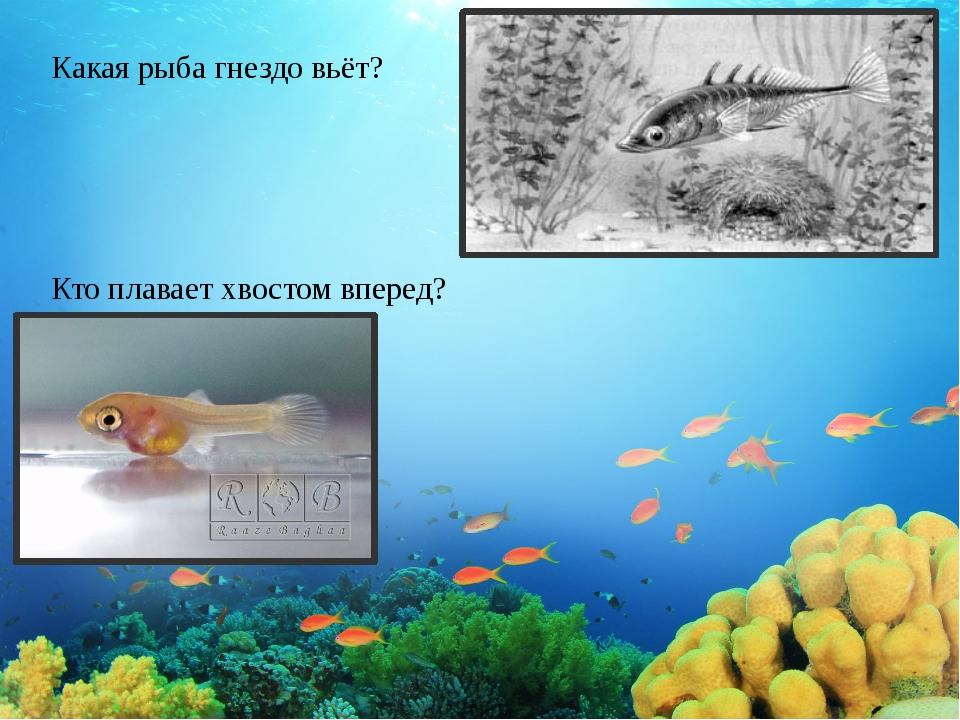 Какая рыба гнездо вьёт? Кто плавает хвостом вперед?